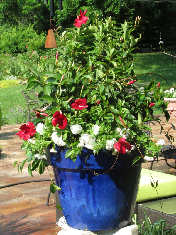 suntory flowers, sun  parosol, red white blue flowers, garden media group, red white blue container flowers garden, patriotic gardening, how to market holiday tips labor day 4th of july