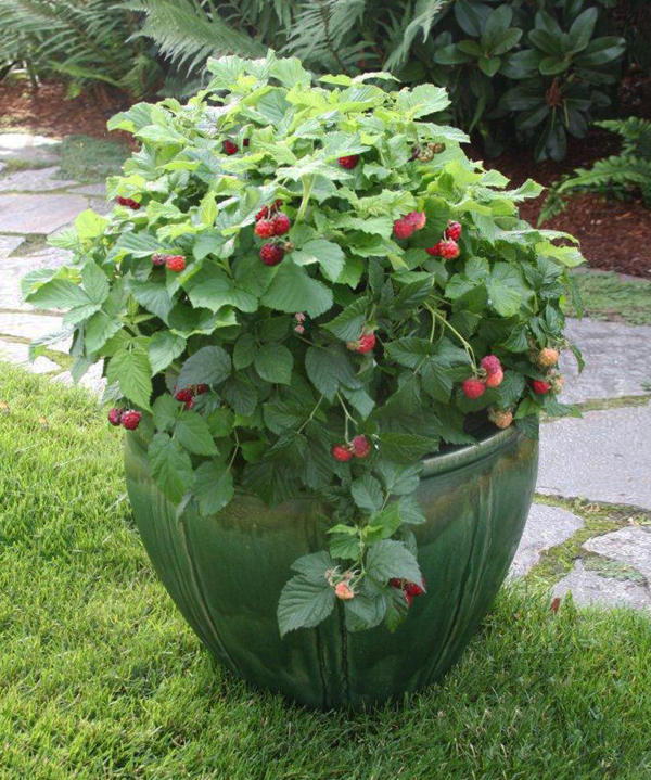 Raspberry Shortcake in pot on grass   Copy resized 600