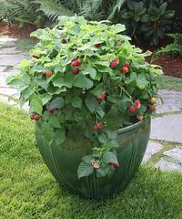 brazelberries