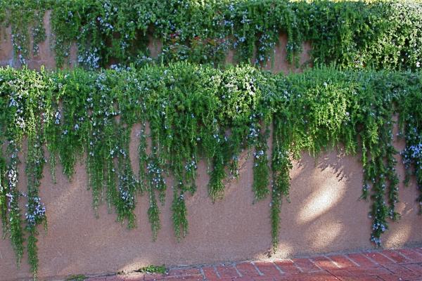 wall of rosemary resized 600
