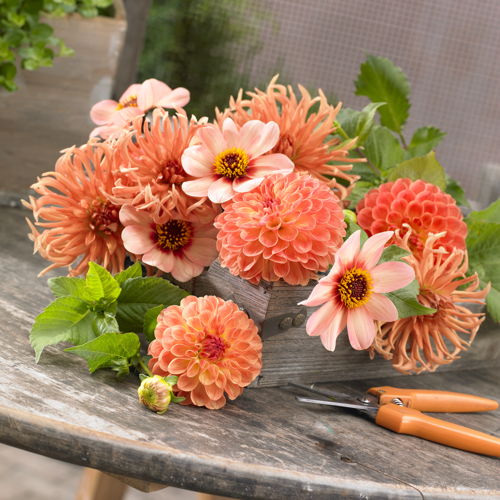 cut dahlias, longfield gardens, healthy-lifestyle, trends, trending thursday, garden media group