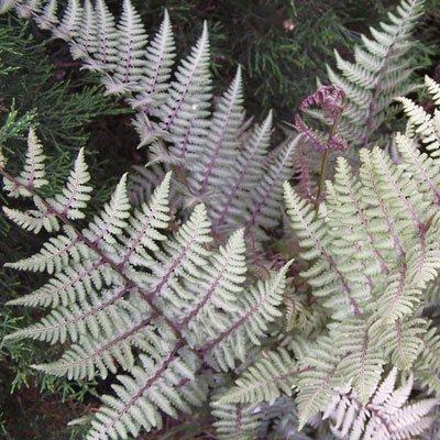 ghost fern, Costa Farms