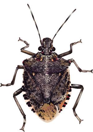 Stink Bug, Rescue eco-friendly traps