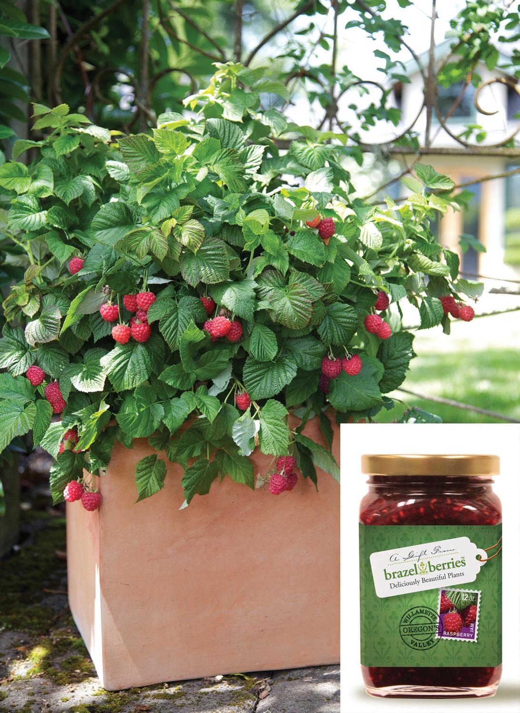 brazelberries, thornless compact rasperry bush