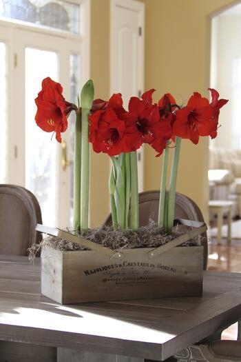 amaryllis gift kit from longfield gardens