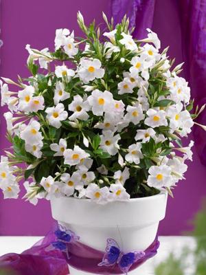 suntory flowers