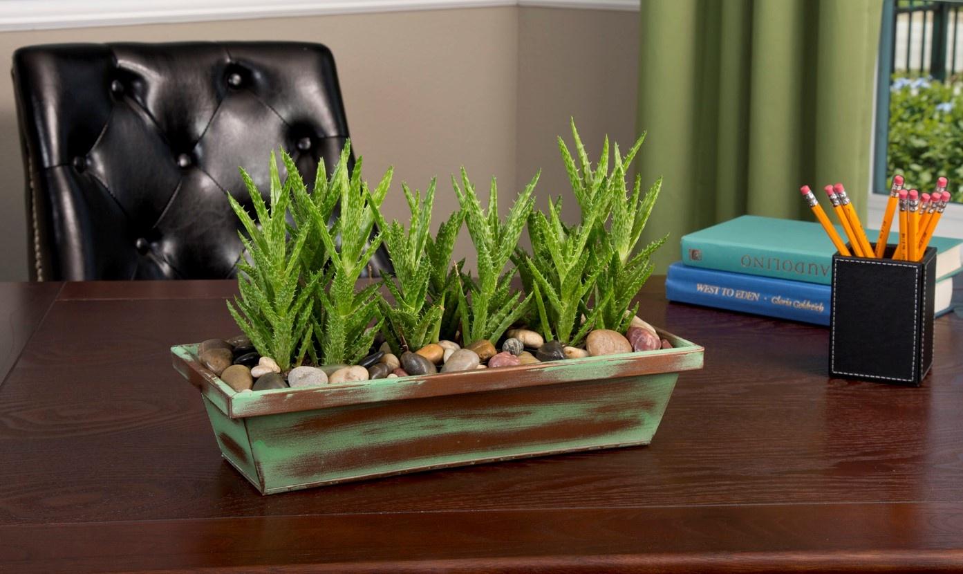 Aloe on desk-1.jpg