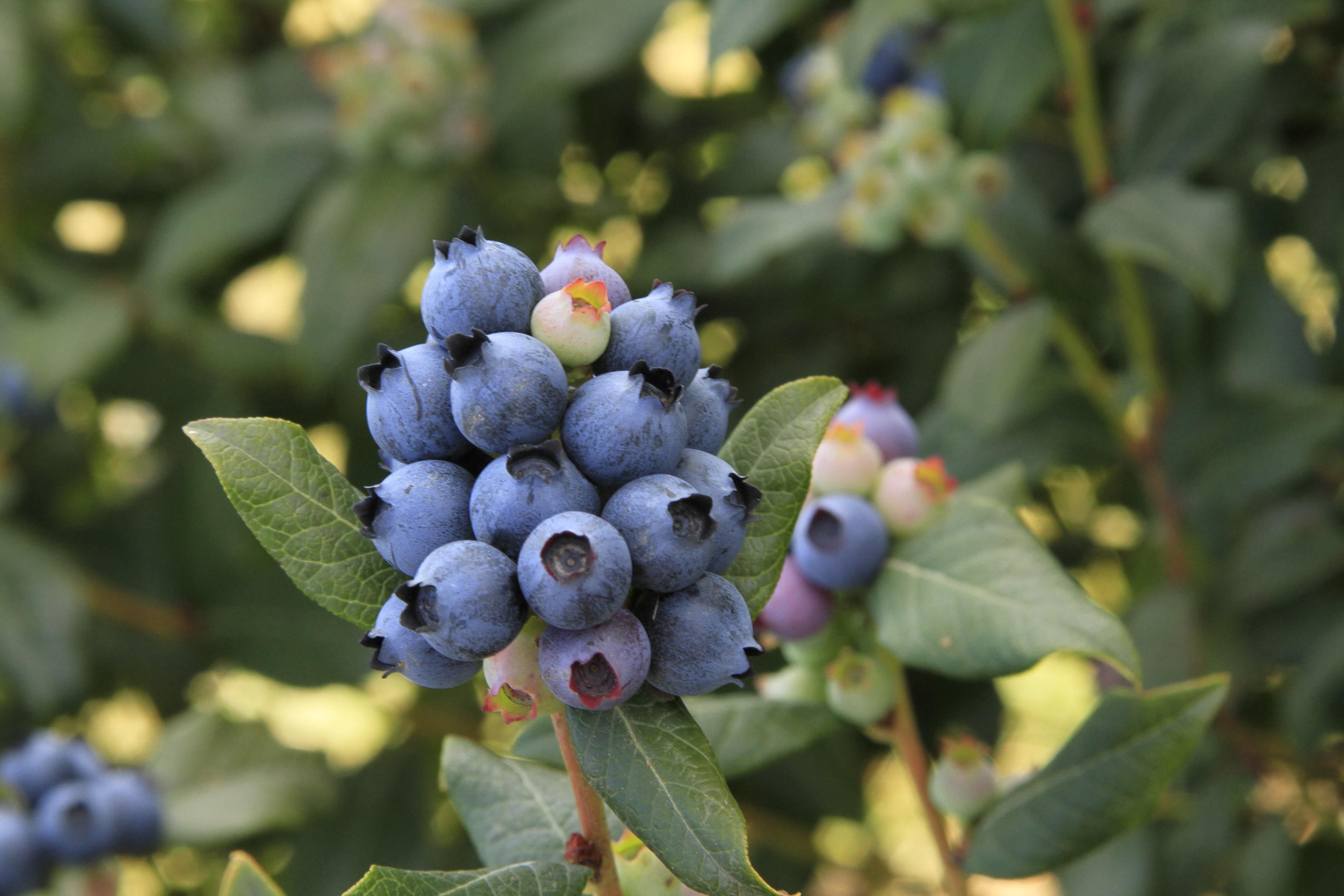 brazelberries_perpetua