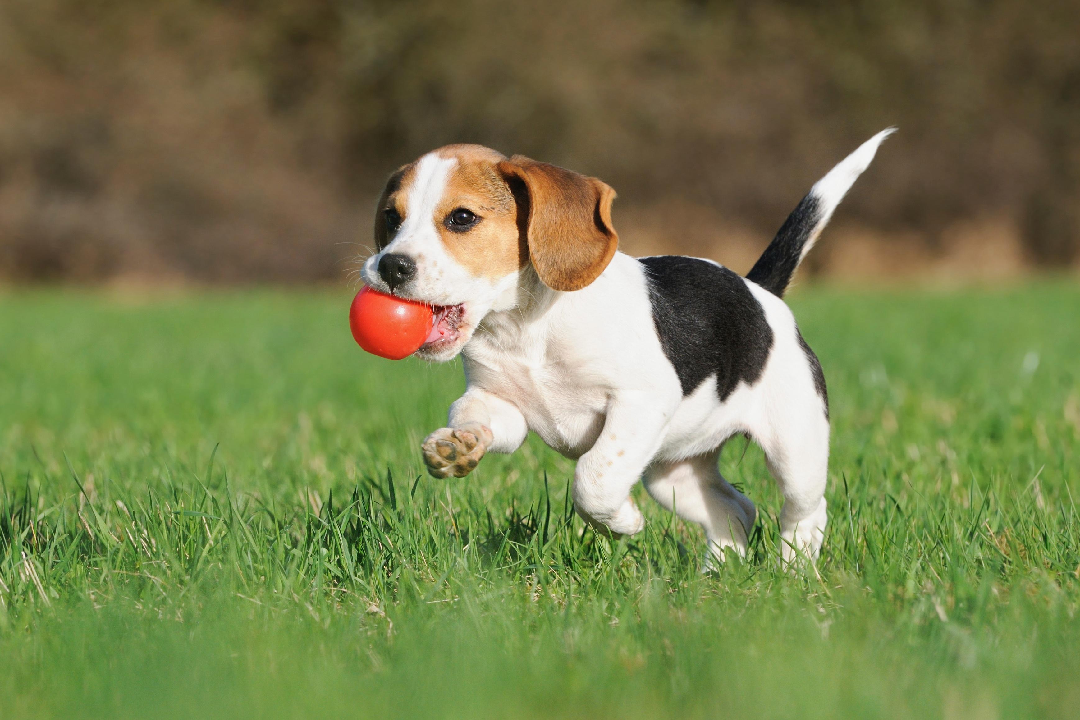 Beagle_playing_with_ball_on_organic_lawn.jpg