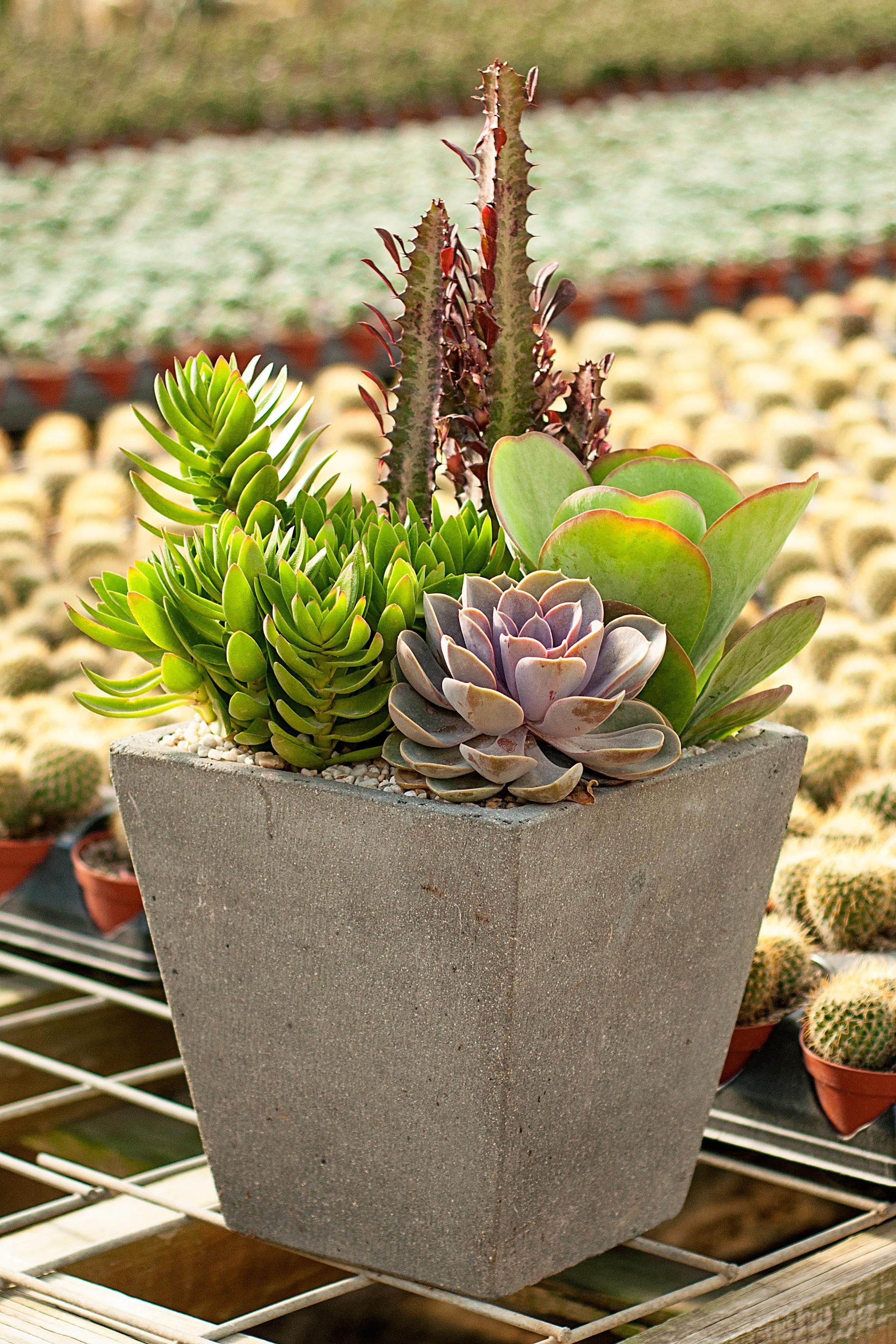 Costa_Farms_Cacti__Succulent_Large_Garden-_Precious_Resources.jpg