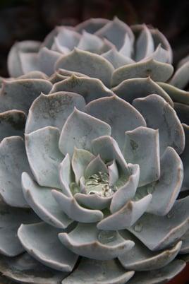 Trend 3 Tidy Gardens - Echeveria - MUST CREDIT COSTA FARMS (r).jpg