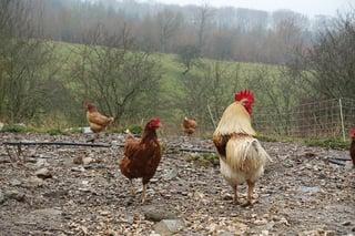chickens-1365562_960_720.jpg