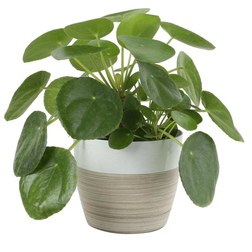costa-farms-house-plants-co-pil6c-3-bam-64_1000