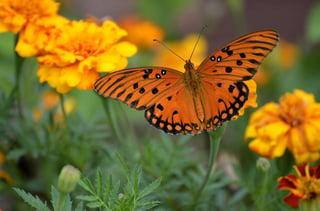 gulf-fritillary-butterfly-1839556_960_720.jpg