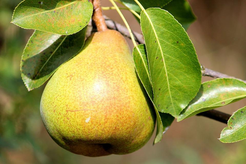 pear-1586866_960_720.jpg