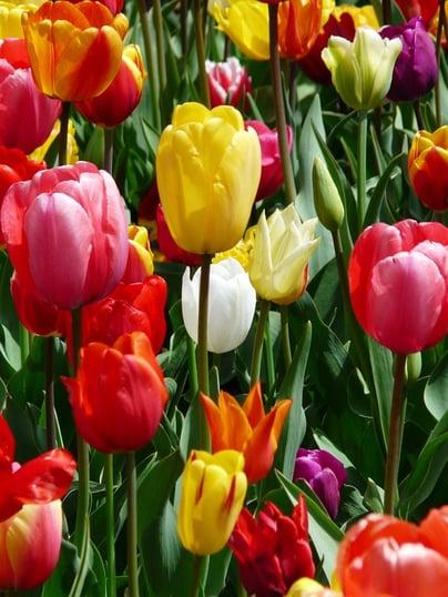 tulip-47401_960_720.jpg